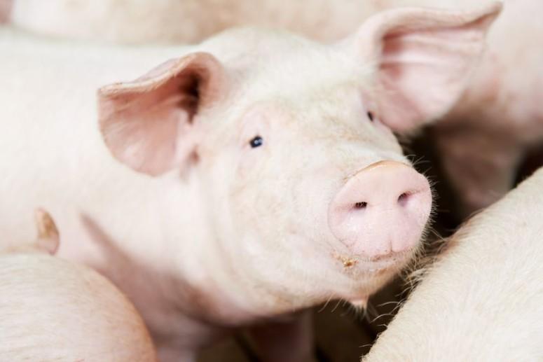 Dieren de dupe van de vleesindustrie