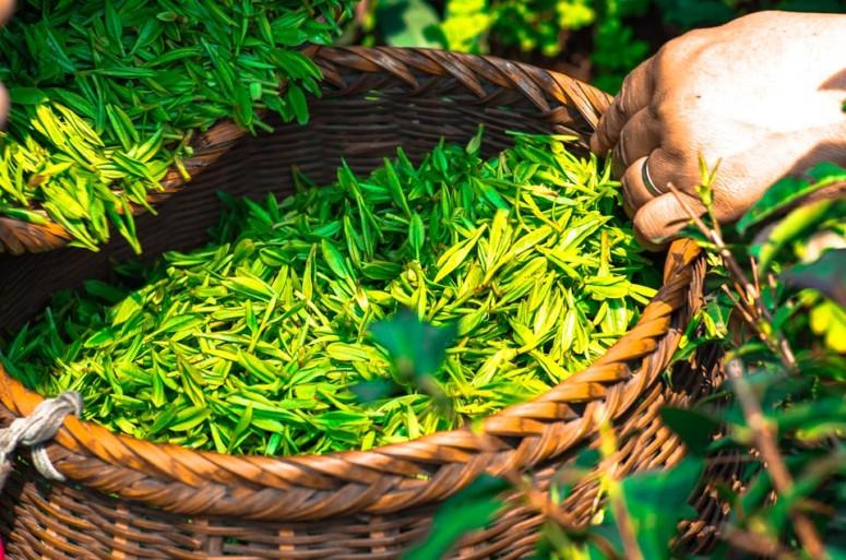 Gezonde thee: groene thee uit Japan