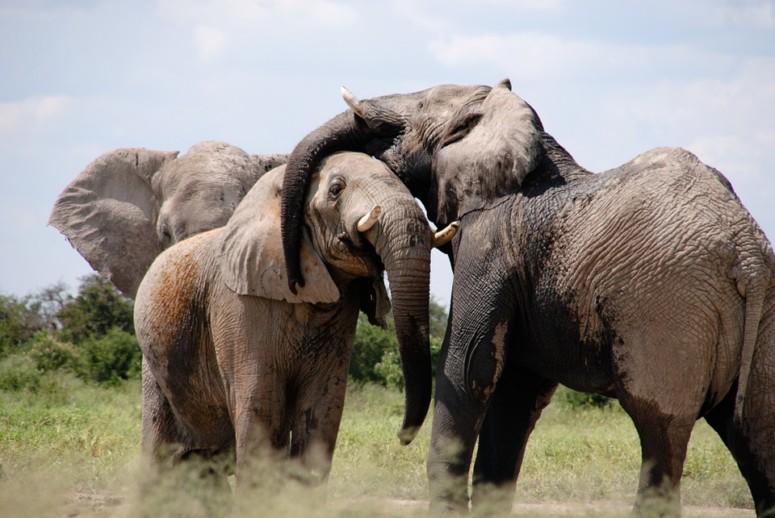 De olifant staat wijsheid en vrede. Adopteer een olifant!