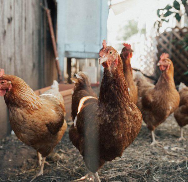 kippen die blij zijn omdat ze niet worden opgegeten